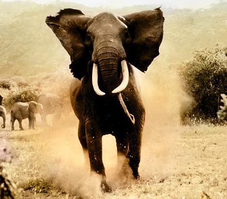 Kawanan Gajah Mengamuk di Glee Mila