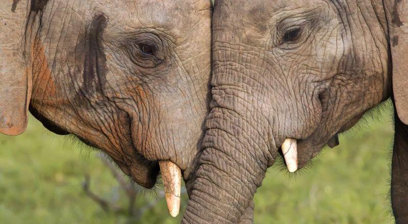 Gajah Sumatera Dipilih Menjadi Maskot Uni Eropa