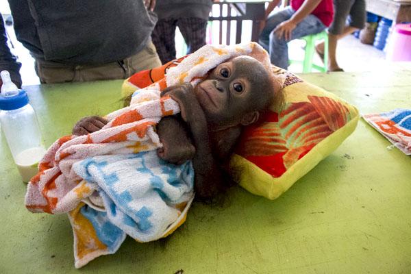 Didik, Bayi Orangutan Yang Terkena Tembak Peluru Senapan di Pundaknya
