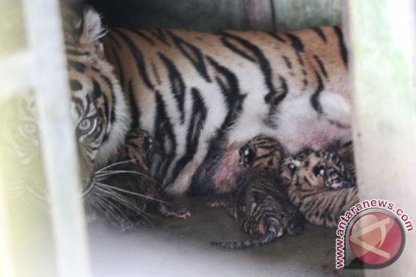 Dua Anak Harimau Sumatera Mati Karena Sakit