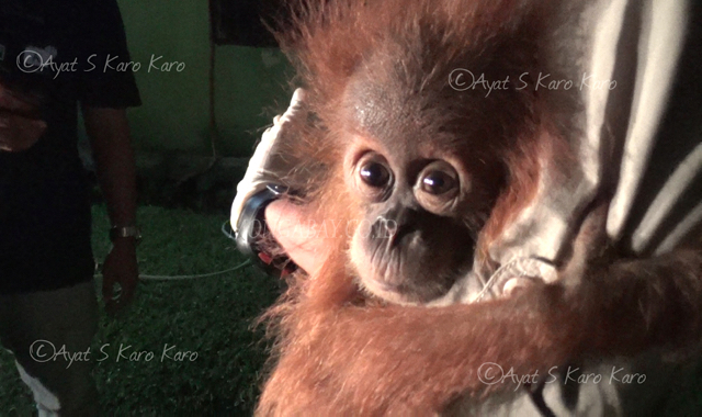 Orangutan Information Centre (OIC) Berhasil Mengevakuasi Satu Anak Orangutan Sumatera
