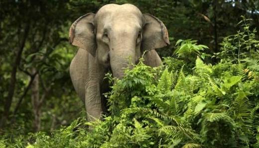 Gajah Liar Resahkan Petani Cot Girek