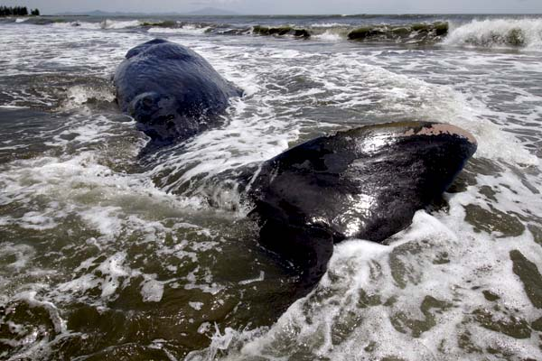 Terdampar Di Laut Banda Aceh, Satu Individu Paus Mati Terdampar