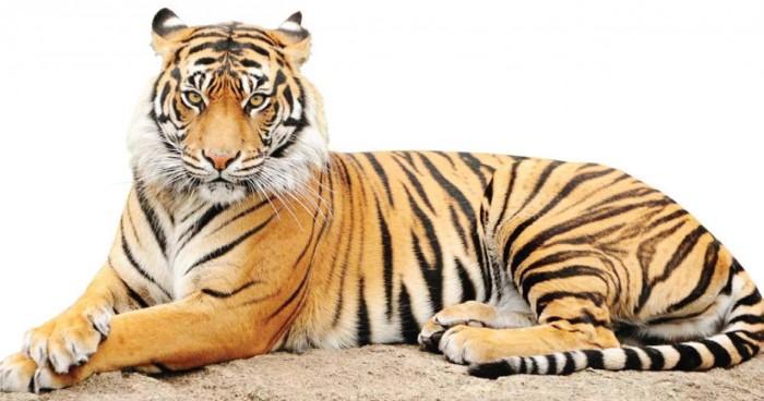 Dibutuhkan Terobosan untuk Pelestarian Harimau Sumatera