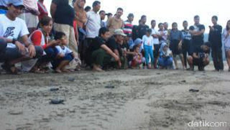 Puluhan Ekor Tukik Dilepas liarkan di Pantai Serang Blitar