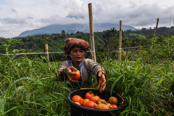 Banjir Lahar Dingin Gunung Sinabung Rusak Lahan Pertanian