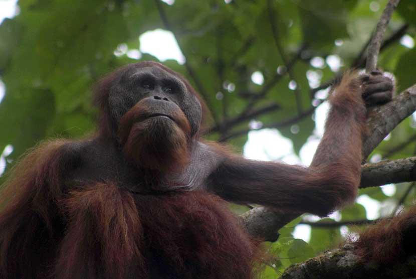 FOTO : Pelepasliaran Orangutan Berusia 35 Tahun di Langkat