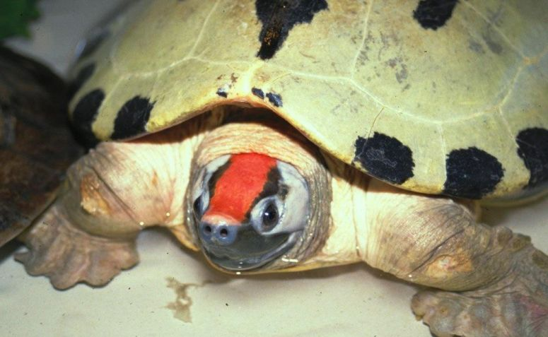 Tum-tum, Kura-kura Paling Terancam di Dunia
