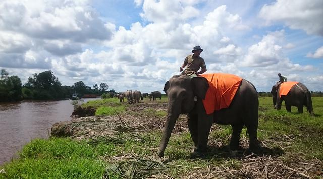 Aksi Lucu Gajah – Gajah Sumatera di SM. Padang Sugihan