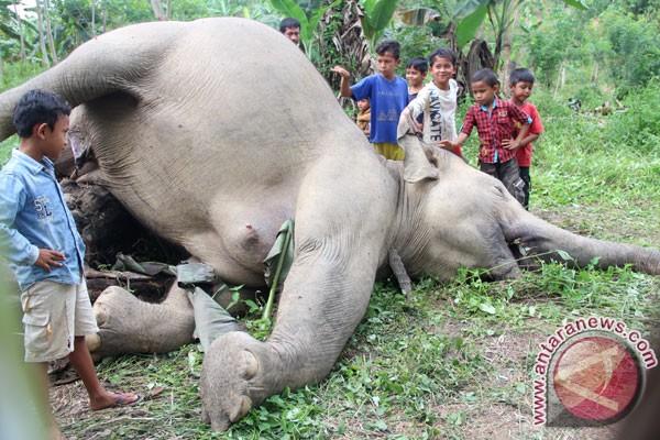 Foto : Gajah Sumatera Mati Tersengat Listrik Di Aceh