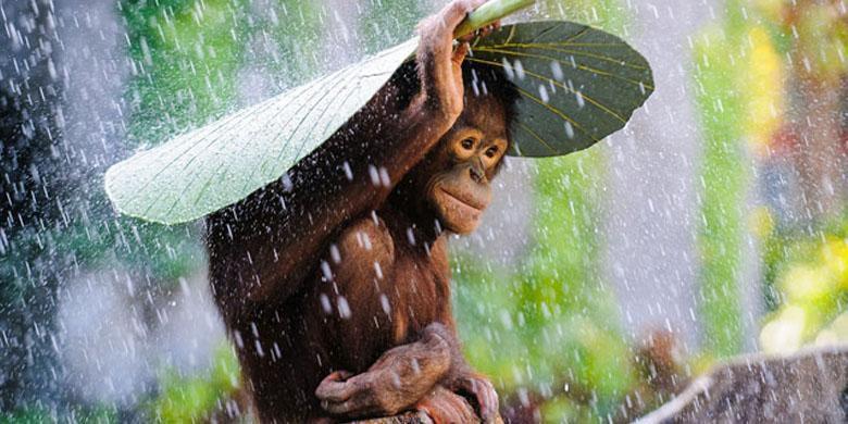 Ketika Orangutan Bersekolah…