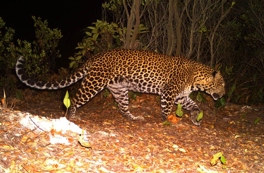 Peneliti LIPI: Satwa yang Tertangkap Kamera Itu, Lebih Tepat Macan Tutul Ketimbang Harimau Jawa