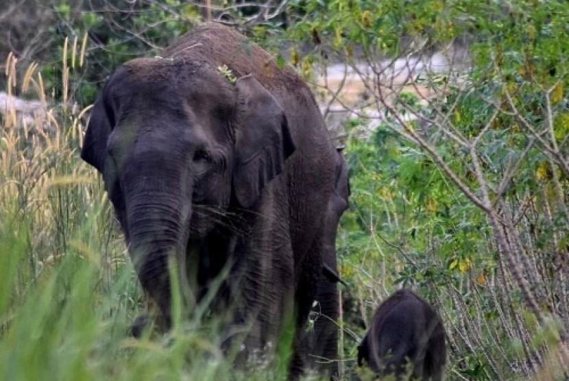 Gajah Liar Sumatera Melahirkan