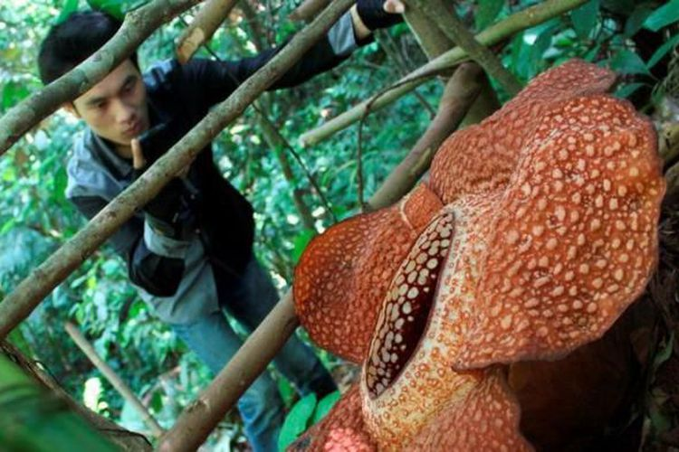 6 Tempat untuk Melihat Bunga Rafflesia Arnoldii