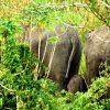 Gajah Sumatera Melahirkan di Suaka Margasatwa Balai Raja