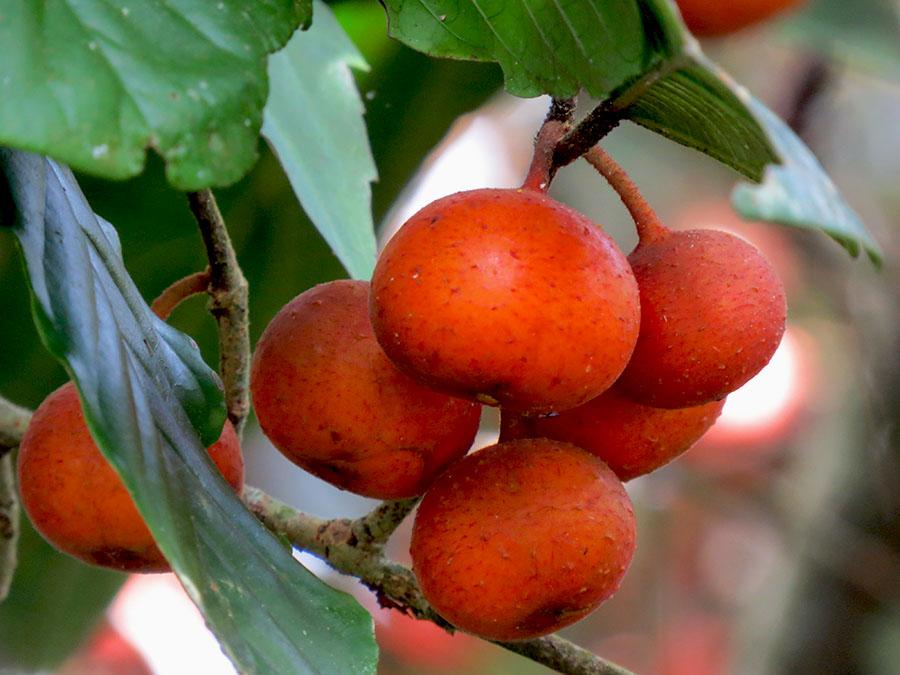 Ficus, Buah Kesukaan Orangutan Tapanuli