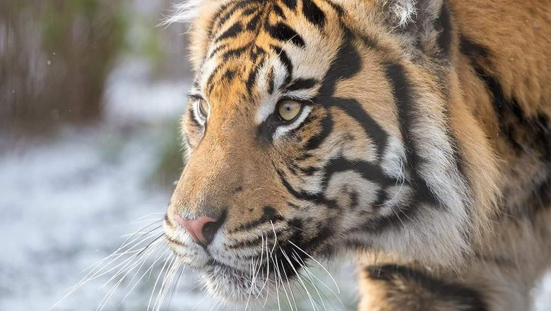 FOTO : Harimau Sumatera Saat Salju Menyelimuti London
