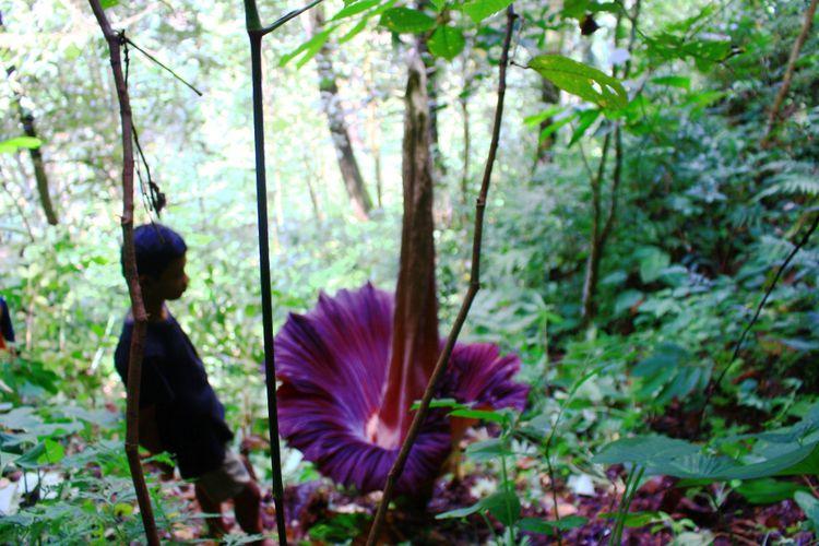 Bunga Bangkai, Sicantik yang Terus Dibantai