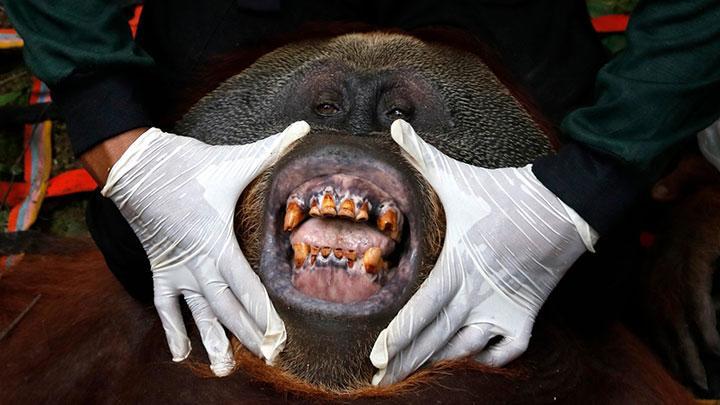 FOTO : Orangutan Terjebak di Perkebunan Warga, Berhasil Dievakuasi