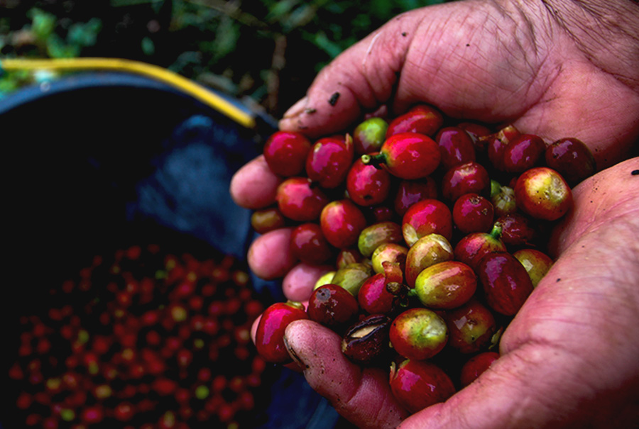 Harum Kopi Arabika di Kaki Gunung Tertinggi Sumatera