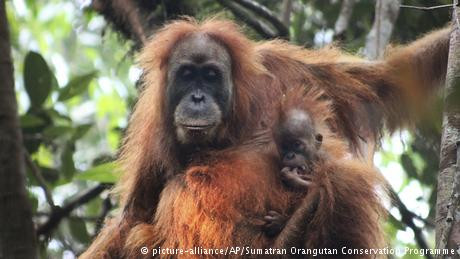 PLTA Batangtoru Dilanjutkan, Orangutan Tapanuli Terancam Punah