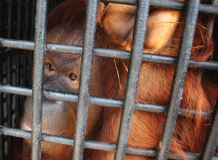 Orangutan Kalimantan di Medan Zoo Ini Hasil Pertukaran dengan Harimau Sumatera, Akankah Bahagia?
