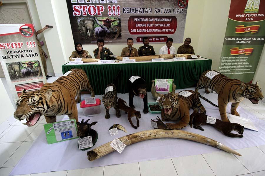 Perburuan Harimau Sumatera Tidak Pernah Berhenti, Ini Buktinya
