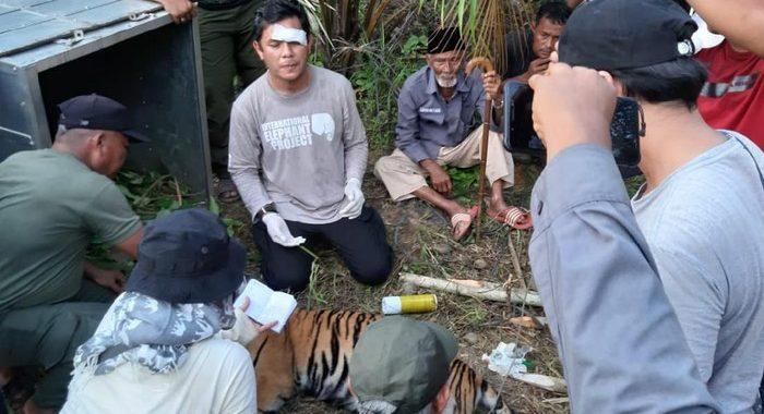Satu Ekor Harimau Tertangkap, BKSDA Aceh Kembali Pasang Perangkap