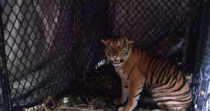 BKSDA Aceh Tangkap Harimau Pemangsa Hewan Ternak Warga