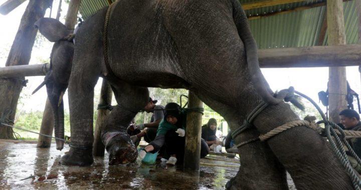 FOTO : Rescue Gajah Sumatera