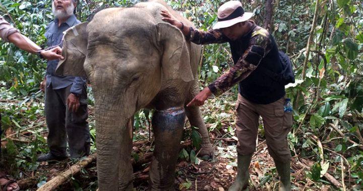 Jerat Pemburu Kembali Lukai Dua Gajah Sumatera di Aceh
