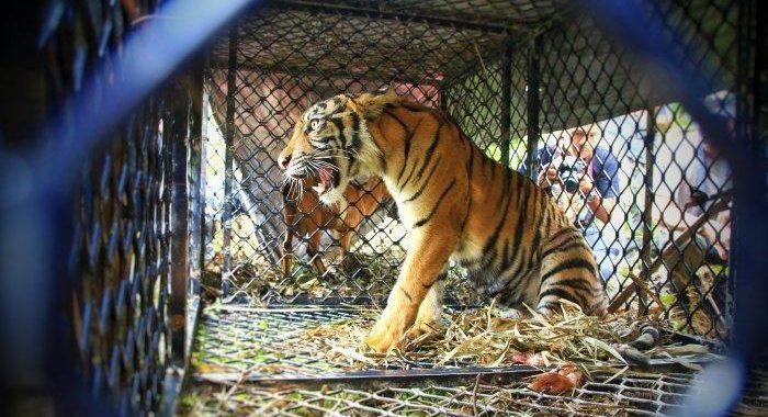 BKSDA Akan Lepasliarkan Harimau ke TNGL
