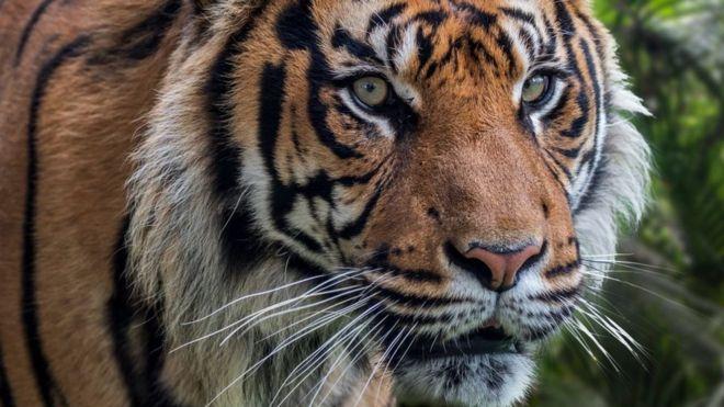 Harimau Sumatera: 'Alih Fungsi Hutan Dorong Harimau Turun Ke Permukiman'