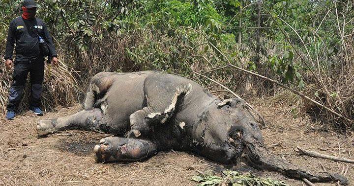 Lagi, Misteri Kematian Gajah Sumatera Muda di Aceh