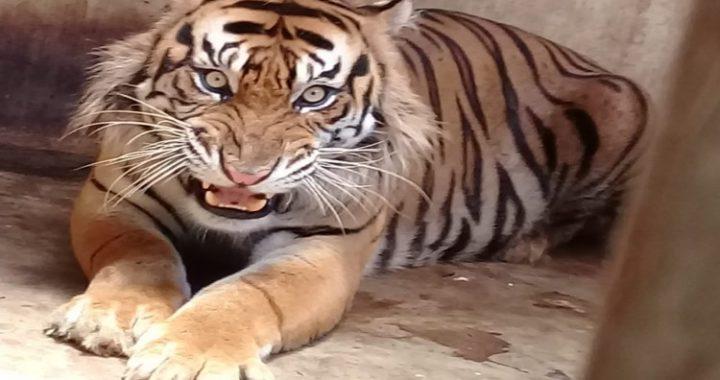 Kisah Corina, Harimau Sumatera Terbebas Jerat dalam Hutan Tanaman Industri