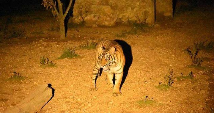 Pandemi Corona, KLHK Lakukan Upaya Konservasi Harimau Sumatera