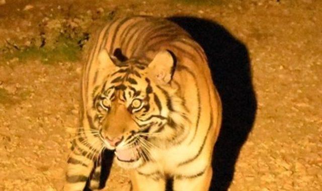 Upaya KLHK Terus Selamatkan Harimau Sumatera di Tengah Wabah Corona