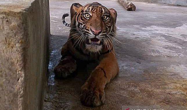 Harimau Sumatera Yang Terjerat Berisiko Kehilangan Satu Kaki