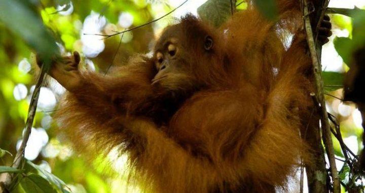 Orangutan yang Kian Terpinggirkan