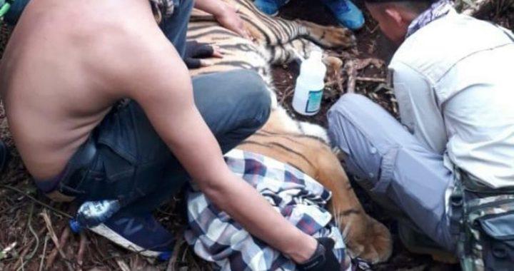 Kisah Harimau Corina Mencoba Bertahan di Tengah Corona