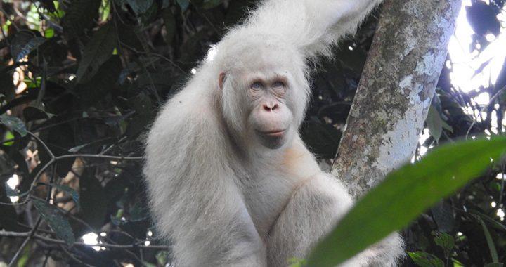 Hari Orangutan Sedunia: Tantangan Konservasi Berpacu dengan Ancaman Kepunahan