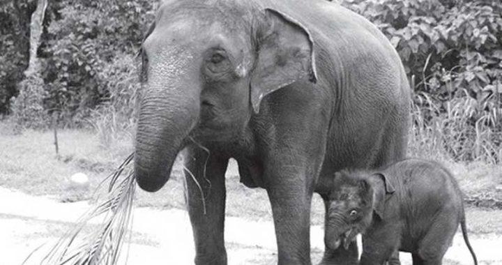 Menguatkan Komitmen Pelestarian Gajah Sumatera