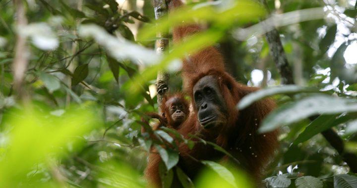 Banyak Orangutan Terluka, Senapan Angin Harus Ditertibkan