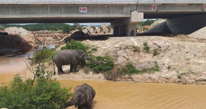 Populasi Gajah Sumatera Dalam Kondisi Kritis