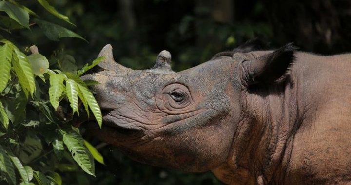 3 Alasan Mengapa Perlu Menjaga Populasi Badak Sumatera Asli Indonesia