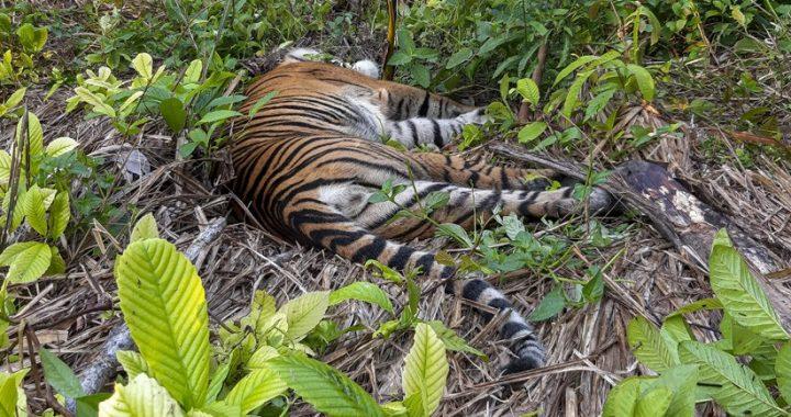 Harimau Sumatera Ditemukan Mati di Hutan Produksi Siak