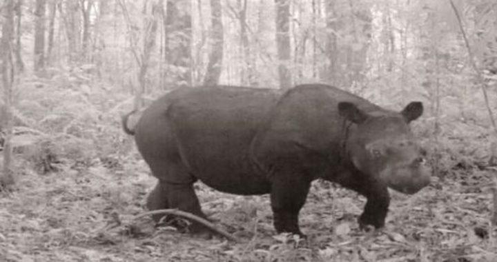 Badak Sumatera Terancam Punah, Yayasan Kehati Jalankan Program TFCA