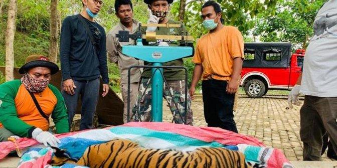 Ditangkap agar Tak Bahayakan Anak-anak, Kondisi Harimau Sumatra Ini Memprihatinkan