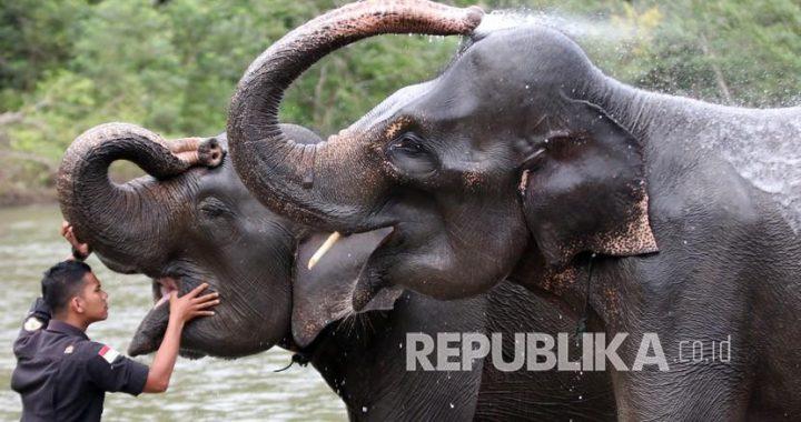 Gajah Sumatra Liar Kini Dipasangi Alat Pelacak Posisi