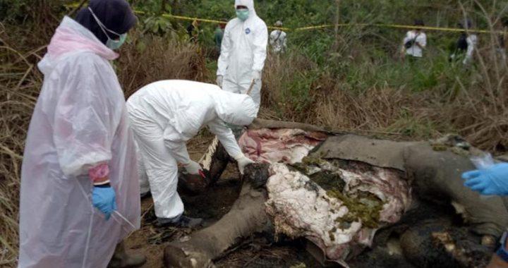 Gajah Sumatera Ditemukan Mati di Perkebunan Warga, BKSDA Bilang Begini